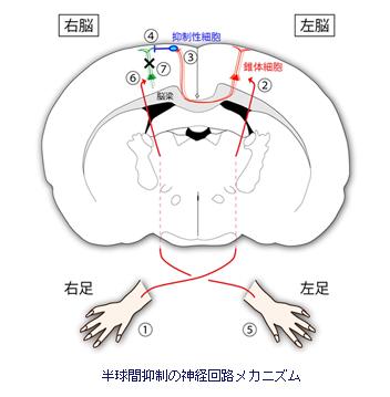 半球間抑制の神経回路メカニズム